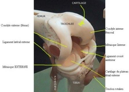 Condyle interne
